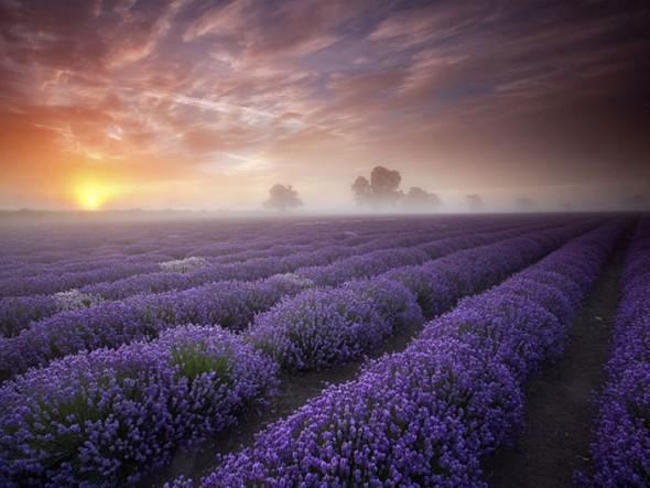 Lavender Fields – France