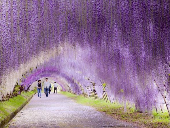 Wisteria Flower Tunnel – Japan