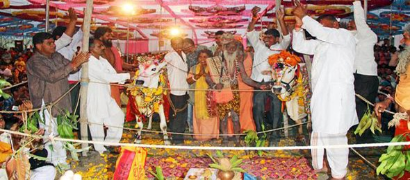 Cow-and-Bull-get-Married-in-Lavish-Indian-Wedding-Ceremony-8