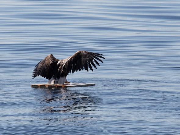 drowning_eagle_saved_07