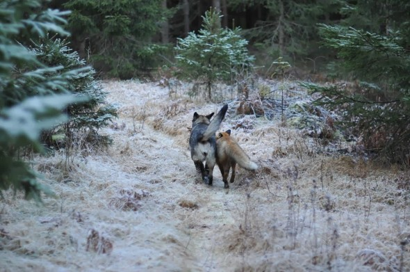 #1 Tinni The Dog And Sniffer The Wild Fox3