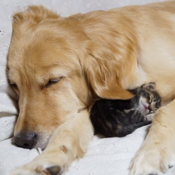 #10 Golden Retriever And An Abandoned Kitty