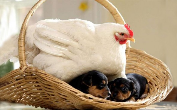 #13 Mabel The Chicken And The Puppies