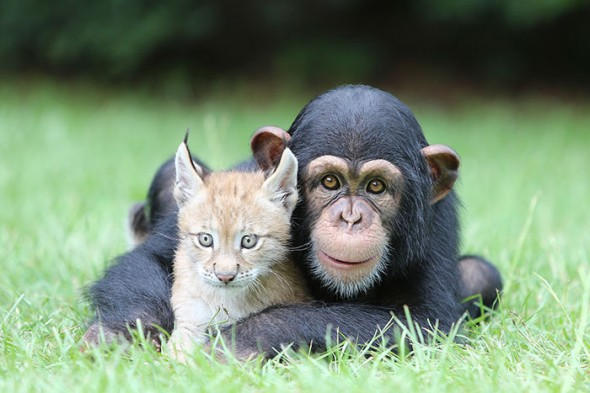 #16 Baby Chimp And Lynx
