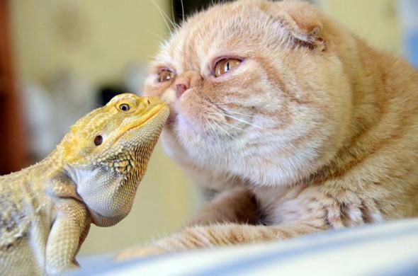 #19 Iguana And Cat