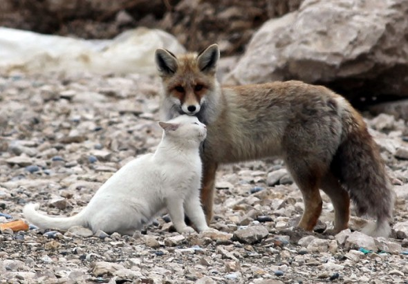 #2 Cat And A Fox2