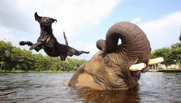 #3 Bubbles The African Elephant And Bella The Black Labrador1