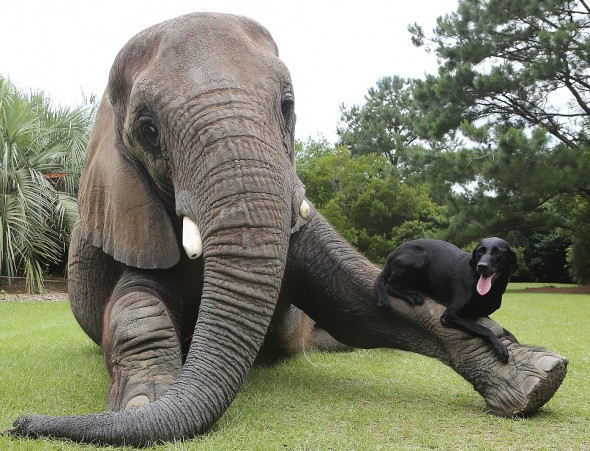 #3 Bubbles The African Elephant And Bella The Black Labrador2