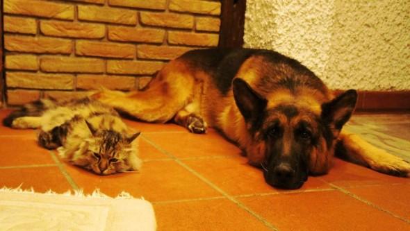 #30 Shepherd Dog And Cat