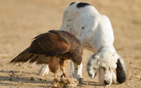 #31 Hawk And Dog