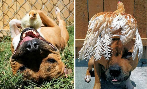 #32 Best Friends Pit Bull And A Chicken