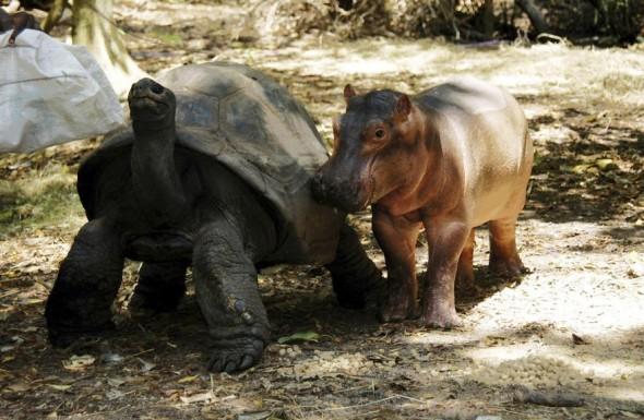#33 Tortoise And Baby Hippo