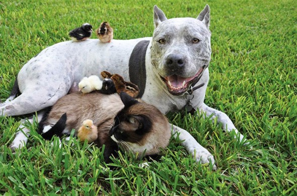 #36 Pitbull, Cat And Chickens
