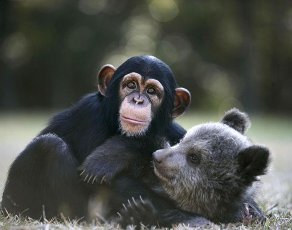 #40 Baby Grizlly Bear And Chimp