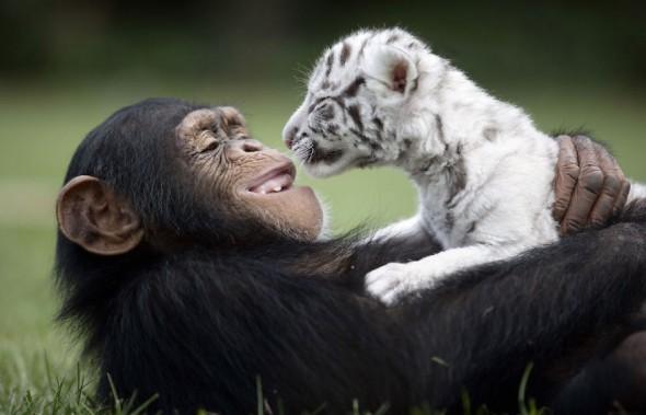 #5 Anjana The Chimpanzee And Tiger Cubs