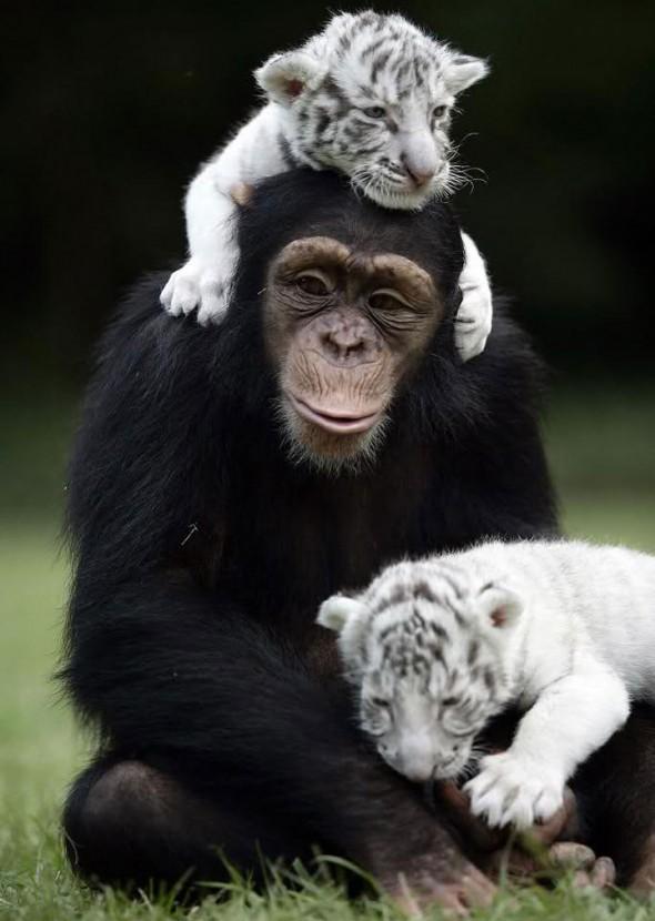 #5 Anjana The Chimpanzee And Tiger Cubs1