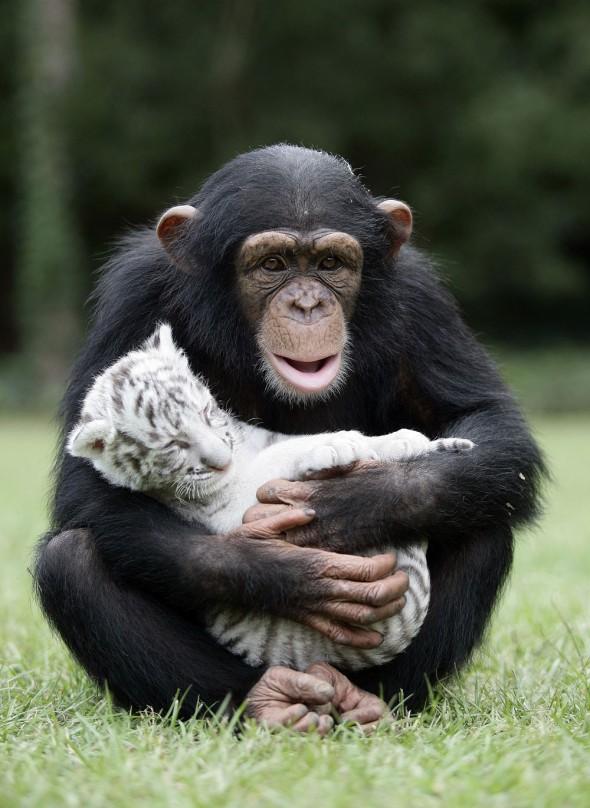 #5 Anjana The Chimpanzee And Tiger Cubs2