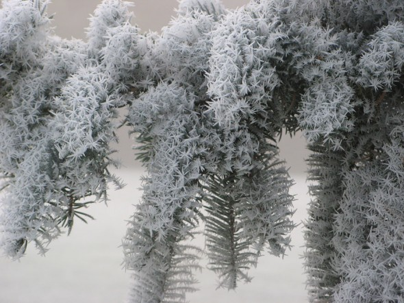 #15 Frosted Pine