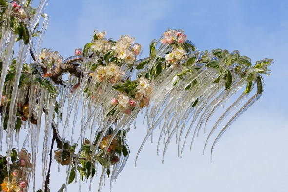 #18 Icicles On The Blooming Apple Tree