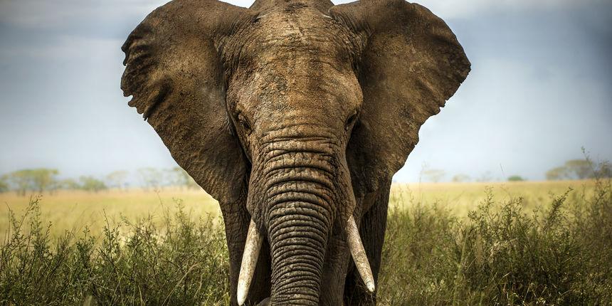surla slona sadrži oko 100000 miši�a