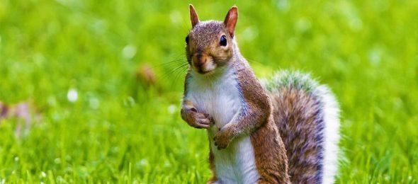veverica-lesnik-drvo-dobro-je--znati-radio-pingvin