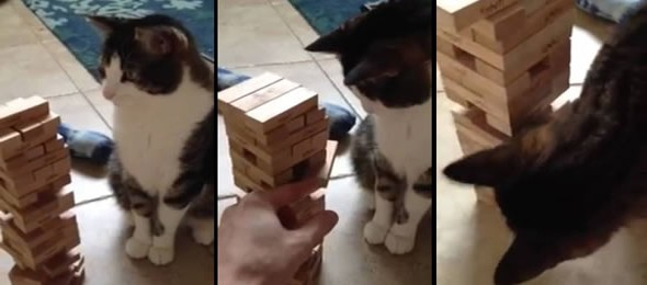 ever-seen-a-cat-play-jenga-thumb