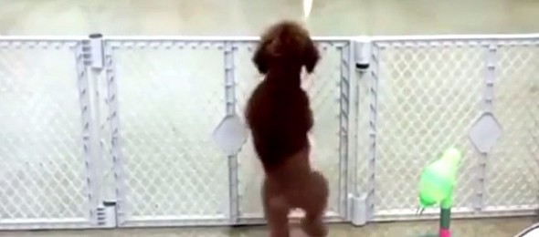 Ovaj pas zna da plese